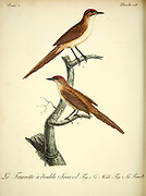 Fauvette DOUBLE SOURCIL from the Book Histoire naturelle des oiseaux d'Afrique [Natural History of birds of Africa] Volume 3, by Le Vaillant, François, 1753-1824; Publish in Paris by Chez J.J. Fuchs, libraire 1799 - 1802