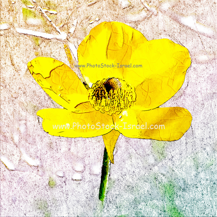 Digitally enhanced image of a yellow Ranunculus asiaticus, the Persian buttercup, is a species of buttercup (Ranunculus) native to the eastern Mediterranean region in southwestern Asia, southeastern Europe (Crete, Karpathos and Rhodes), and northeastern Africa. Photographed in Israel in March