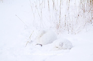 01863-01515 Arctic Foxes (Alopex lagopus) curled up along bank in snow Churchill Wildlife Management Area, Churchill, MB