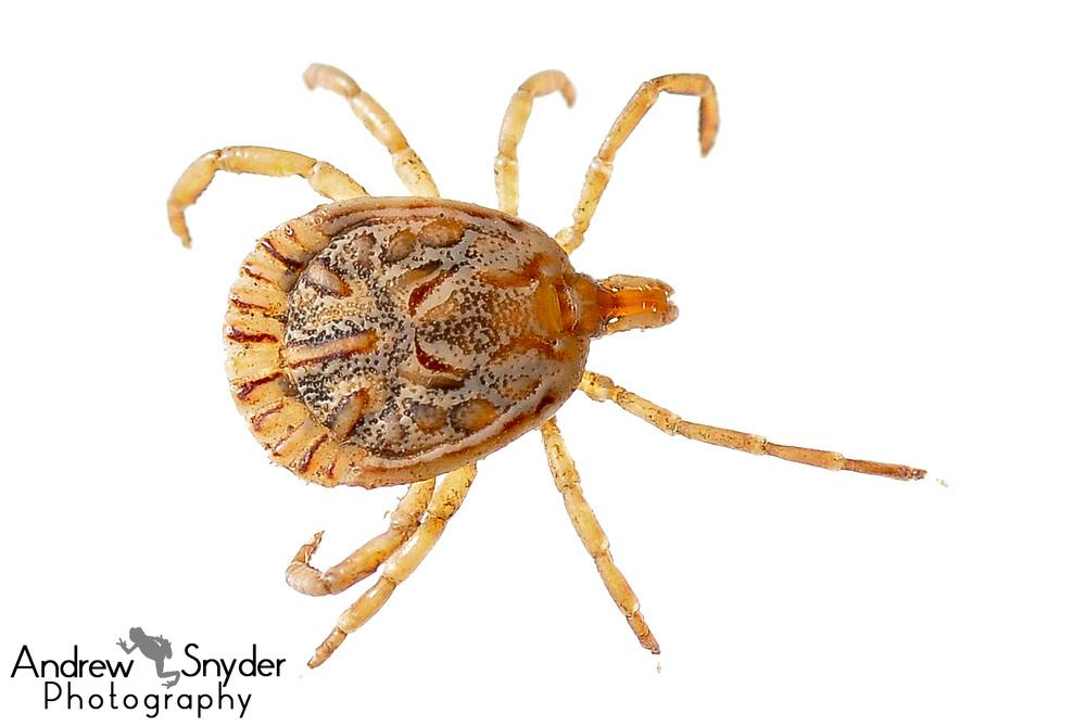 Hard tick, Amblyomma sp., Kanuku Mountains, Guyana, July 2013