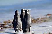 Three Magellanic penguins (Spheniscus magellanicus) walk away on the beach at Carcass Island on Sunday 4th February 2018.