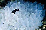 juvenile three-spot damselfish, Dascyllus trimaculatus,<br /> feeding on plankton, in sea anemone, Entacmea <br /> quadricolor, bleached white due to hot water during<br /> El Nino, Sipadan Island, off Borneo, Sabah, Malaysia<br /> ( Celebes Sea )