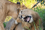 Two-year old male lion responds pleasurably to his mother nuzzling him on the back of the neck, © David A. Ponton