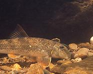 Alabama Hogsucker, Underwater