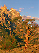 The Old Patriarch tree stands proudly beneath the peaks of the Cathedral Group, Grand Teton National Park, Wyoming.