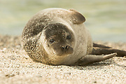 Common seal, harbour seal, Phoca vitulina, pup, on beach, Sanday, Orkney, Orkney Isles.<br /> animal; animals; mammal; mammals; nature; wildlife;<br /> sea; coast; coastal; pinniped; pinnipeds;<br /> brown; grey; gray; watch; watching; <br /> juvenile; young; cute; sand; beach;