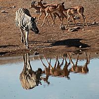 Africa, Namibia, Etosha. Burchell's Zebra and Black Faced Impala in Etosha.