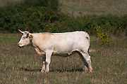 cow in a field aluze mercurey burgundy france
