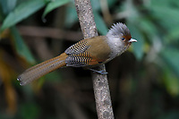 Rusty-fronted Barwing, Actinodura egertoni, bird photographed siiting on a branch in the forests of Baihualing, Gaoligongshan, Yunnan, China