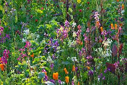 Jewel cut flower meadow mix. Linaria maroccana 'Sweeties', Atriplex hortensis 'Rubra', Eschscholzia californica 'Orange King', Bupleurum 'Griffithii', Linum 'Rubra Maxima' and Cerinthe