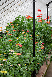 Zinnias in a glasshouse at Chatsworth House
