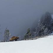 Wolverine, (Gulo gulo) Adult In Bridger mountains. Montana. Winter.  Captive Animal.