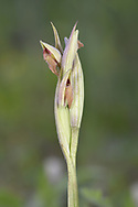 Small-flowered Tongue Orchid - Serapias parviflora
