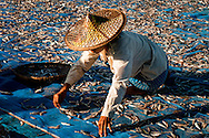 Myanmar, Ngapali. Woman works segregating fish to be dried.<br />  Every single morning all the fisherman from the little village at Ngapali Beach come back home with their night catch. At the beach all the women wait for them and afterwards work with drying and selling fish and other creatures from the sea begins.