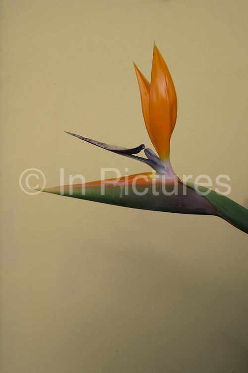 Bird of Paradise Flower growing outside a house in La Palma, Canary Islands, Spain. Strelitzia is a genus of five species of perennial plants, belonging to the plant family Strelitziaceae. A common name of the genus is bird of paradise flower / plant, because of a resemblance of its flowers to birds-of-paradise. It is also commonly known as a crane flower. La Palma, also San Miguel de La Palma, is the most north-westerly Canary Island in Spain. La Palma has an area of 706km2 making it the fifth largest of the seven main Canary Islands.