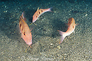 spotted goatfish or red goatfish, Pseudupeneus maculatus, using barbels to probe for food in sand, St. Vincent, West Indies ( Caribbean Sea )