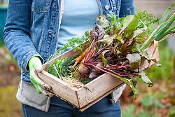 Carrying a box of harvested winter vegetables including beetroot, kale and carrots
