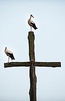 03.07.2013 Suwalszczyzna N/z bociany siedzace na drewnianym krzyzu na wiejskim cmentarzu fot Michal Kosc / AGENCJA WSCHOD