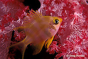 damselfish rests in Dendronephthya soft coral at night, Similan Islands, Thailand ( Indian Ocean )