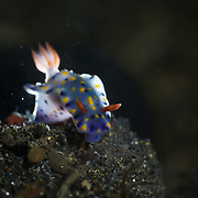 Unique backlighting for Hypselodoris kanga nudibranch in the Lembeh Strait, North Sulawesi, Indonesia