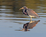 Tri-colored heron hunting in a still pool at Ding Darling National Wildlife Refuge on Sanibel Island, Florida
