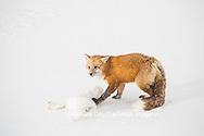 01871-02902 Red Fox (Vulpes vulpes) eating Arctic Fox (Alopex lagopus) at Cape Churchill, Wapusk National Park, Churchill, MB