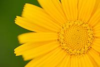 Chrysanthemum sp. North Velebit National Park,  Velebit Nature Park, Rewilding Europe rewilding area, Velebit  mountains, Croatia
