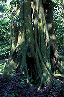 Tronco de arbol, Parque de la Exotica Flora Tropical, San Felipe, Yaracuy, Venezuela