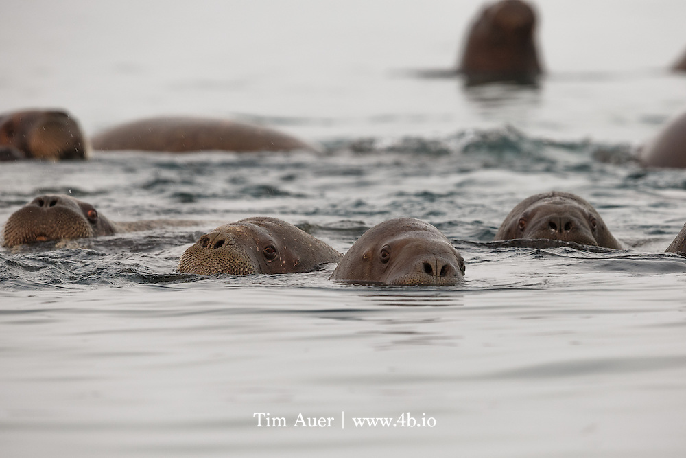 Here Comes Trouble<br /> Arctic Ocean, off shore from Kvitøya Island in the Svalbard archipelago<br /> A surfacing walrus snorts air to evacuate water from its nasal passage. <br /> Kvitøya, a small island in Svalbard archipelago north eastern corner, is almost fully covered by an ice cap.  In fact, with the exception of two small beaches, an ice cap with average depth of 200m, covers 99% of the island. On the day I was there, one of those beaches had a polar bear, and the other had hundreds of walrus. We explored both beaches from zodiac, but it was the experience at the beach with the walrus that was profoundly moving. <br /> <br /> Manning the zodiacs at midnight, the sun, at 2 degrees altitude, was flirting with dipping beneath the horizon for the first time of the season. The sea was smooth and silky.  The water was so still that ice crystals could be observed at the surface. As we approached the walrus, pockets of dense fog diffused the rich sunlight.  As we glided softly in our zodiac, some of the walrus came to meet us. There were hundreds of them, cycling between land and water, it was like a conveyor belt.