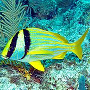 Porkfish inhabit reefs in Tropical West Atlantic; picture taken Key Largo, FL.