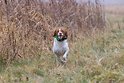 Dave Roll with his Brittany Spaniel, Tucker.