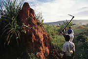 Boys in the village of Bweyogerere hunt for termites early in the morning by hacking into the termites' mounded earthen homes. They place a cloth in front of the entrance, and yank off the ants that attack the cloth. The harvesters pick them up by the rear, biting off their heads and throwing away the rear part. Or they collect them in a bowl to be roasted. Bweyogerere, Uganda. Image from the book project Man Eating Bugs: The Art and Science of Eating Insects.