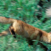 Red Fox, (Vulpus fulva) young kit scurrying to den for safety. Summer.