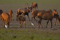 Père David's deer, or Milu, Elaphurus davidianus, with Cattle egret, Bubulcus ibis, Hubei Tian'ezhou Milu National Nature Reserve, Shishou, Hubei, China. The dominant harem-keeping stag in the herd.