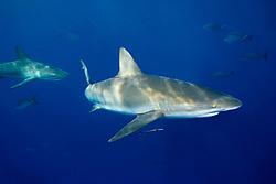 Caribbean reef sharks, Carcharhinus perezi, West End, Bahamas, Atlantic Ocean