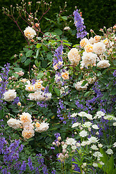 Rose and nepeta (catmint) in The Old Garden at Hidcote Manor