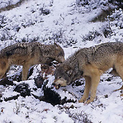Gray Wolf, (Canis lupus) Pack on bison carcass. Winter. Rocky mountains. Montana.  Captive Animal.