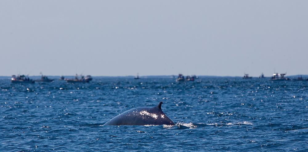 Whales off Cape Cod<br /> 2009 Halifax-Jamestown