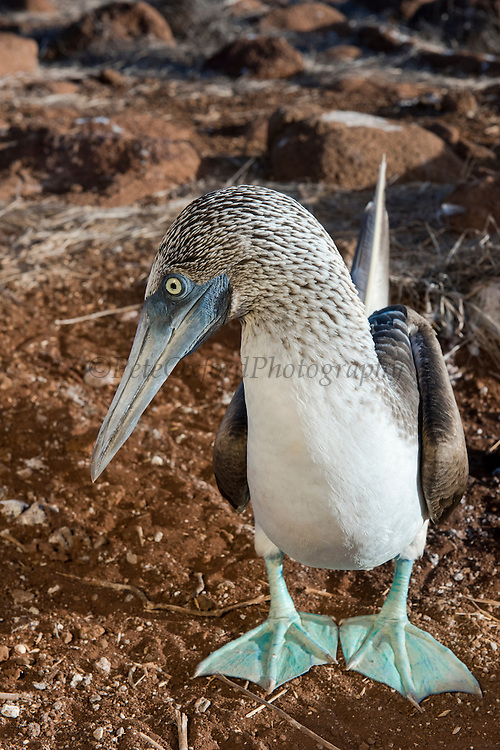 Blue-footed Booby (Sula nebouxii excisa)<br /> North Seymour<br /> Galapagos Islands<br /> Ecuador<br /> South America