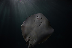July 31, 2017 - Madrid, Spain - A common stingray at Madrid Aquarium. The common stingray (Dasyatis pastinaca),  a species of stingray in the family Dasyatidae,  is found throughout the Mediterranean and Black Seas. (Credit Image: © Jorge Sanz/Pacific Press via ZUMA Wire)