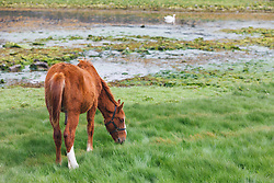 Horse in field with swans, Ballyvaghan, County Clare, Ireland