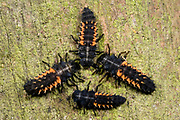 Close up of the larvae of a harlequin ladybird (Harmonia axyridis) grouped in the form of a symmetrical pattern on a fence post in a Norfolk wood in autumn