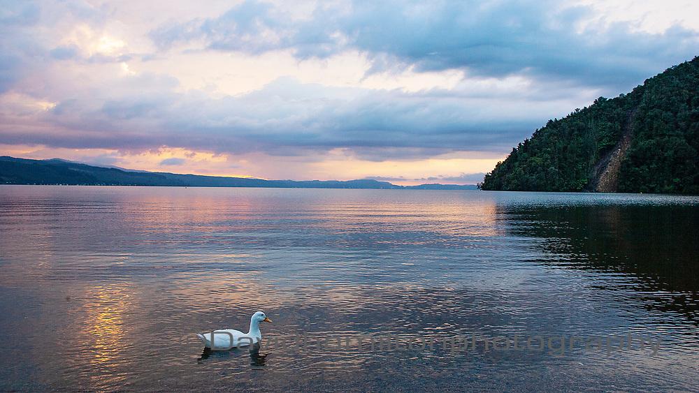 White Duck on lake Rotoiti New Zealand