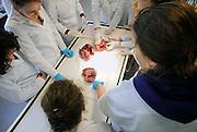 Nederland, Nijmegen, 1-3-2010Studenten medicijnen zijn in de snijzaal van anatomie bezig met een practicum. Hier bestuderen zij het hart van een varken. het varken lijkt qua anatomie sterk op de mens.Foto: Flip Franssen
