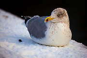 Herring gull sitting on the edge of the frozen Schinkel canal in Amsterdam, Netherlands,  with icicle on its beak