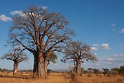 Baobab Tree Tarangire National Park is a national park in Tanzania's Manyara Region. The name of the park originates from the Tarangire River that crosses the park. The Tarangire River is the primary source of fresh water for wild animals in the Tarangire Ecosystem during the annual dry season. The Tarangire Ecosystem is defined by the long-distance migration of wildebeest and zebras. During the dry season thousands of animals concentrate in Tarangire National Park from the surrounding wet-season dispersal and calving areas. It covers an area of approximately 2,850 square kilometers (1,100 square miles.) The landscape is composed of granitic ridges, river valley, and swamps. Vegetation is a mix of Acacia woodland, Combretum woodland, seasonally flooded grassland, and baobab trees.