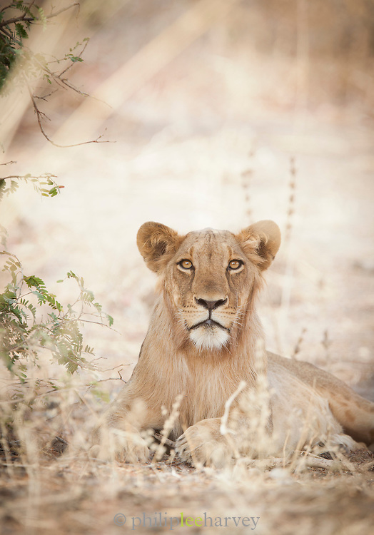 A lion seen in Waza National Park, in the north of Cameroon
