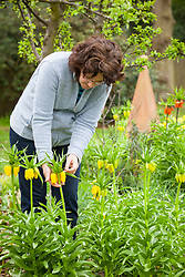 Inspecting Fritillaria imperialis for lily beetle. Crown imperial