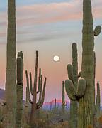 Saguaro Cactus and Setting Moon at Dawn, Organ Pipe Cactus National Monument, Pima County, Arizona