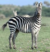 A plains zebra (Equus quagga, formerly Equus burchellii) on the dry grasslands of the Sinya Wildlife Management Area.  Sinya Wildlife Management Area, Tanzania.